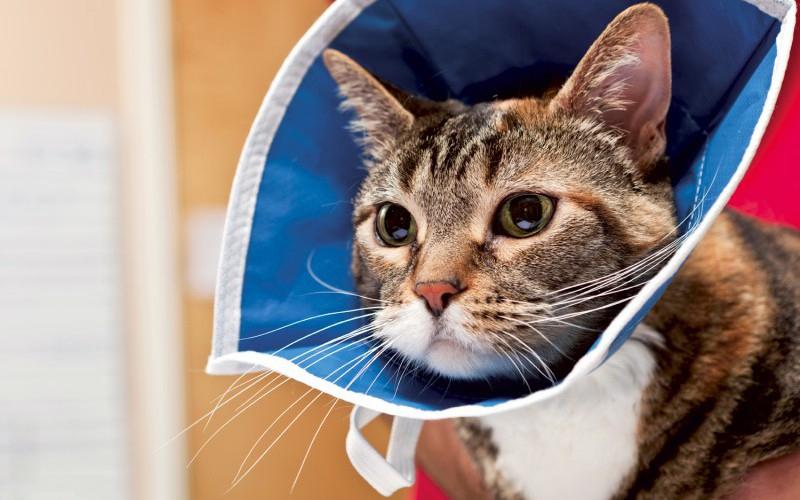 Воротник для кошки: как сделать и одеть на питомца, для чего он нужен.