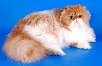 Персидская кошка - самая длинная шерсть и самый вздернутый нос.