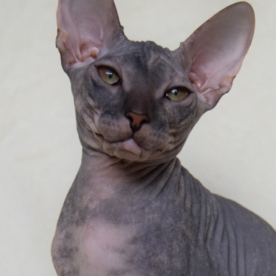 кот донской сфинкс фото
