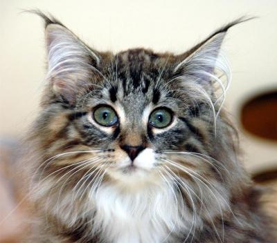 Норвежская лесная кошка - скандинавский атлет