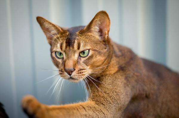 Кошка абиссинской породы - дикая красота и грация