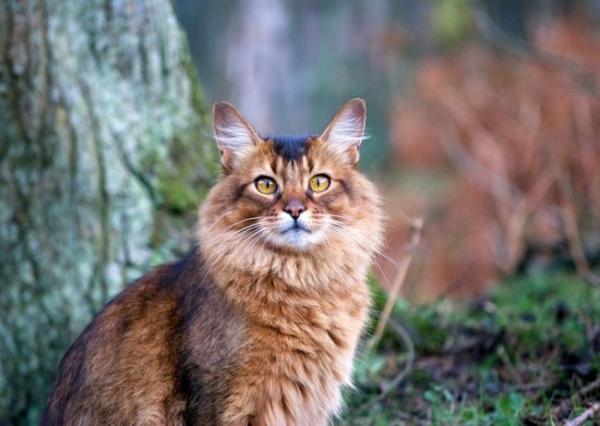 Сомалийская кошка - домашняя лисица