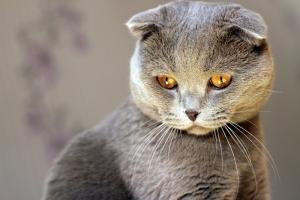 Шотландская вислоухая кошка - поднебесный плюшевый питомец