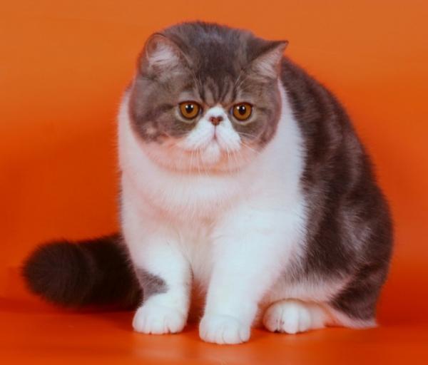 Экзотическая короткошерстная кошка - настоящий чеширский кот