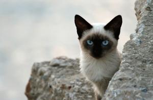 Сиамская кошка - древний лунный бриллиант