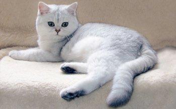 Британская кошка - вислоухая фотогеничная проказница