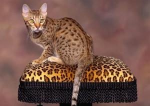 Уссурийская кошка- гордый представитель семейства кошачьих