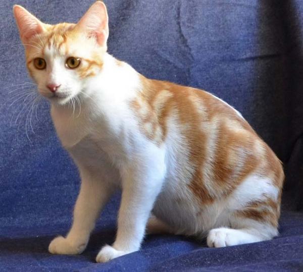 Анатолийская кошка - восточная красавица