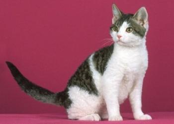 Американская жесткошерстная кошка - копия дворняги