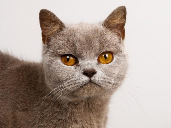 Бурманская кошка - любимец монахов