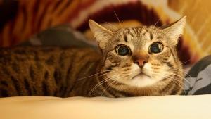 Кельтская кошка(европейская) - дружелюбная полосатая игрушка