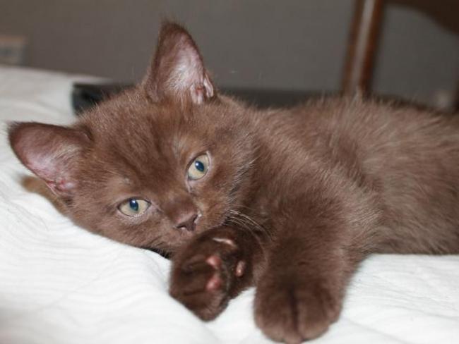 Йоркская шоколадная кошка - единичные экземпляры