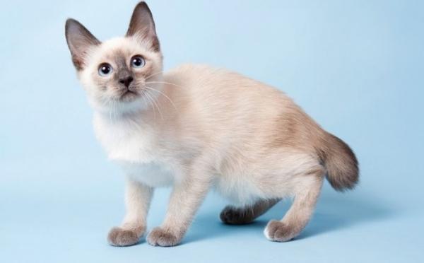Скиф тай дон - игрушечная кошка