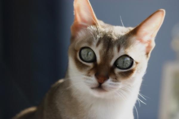 Сингапурская кошка - маленький комочек счастья