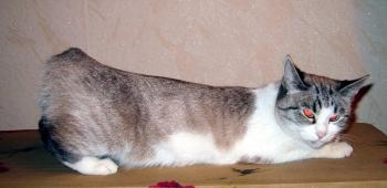 Течка у кошек в домашних условиях что делать как часто бывает и сколько длится