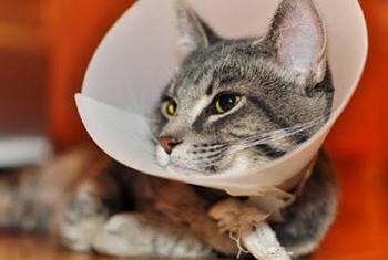 Уход после кастрации: больно ли коту, состояние в первый день