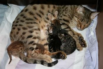 Принимаем роды у кошки: когда начинаются, как помочь и сколько котят родит