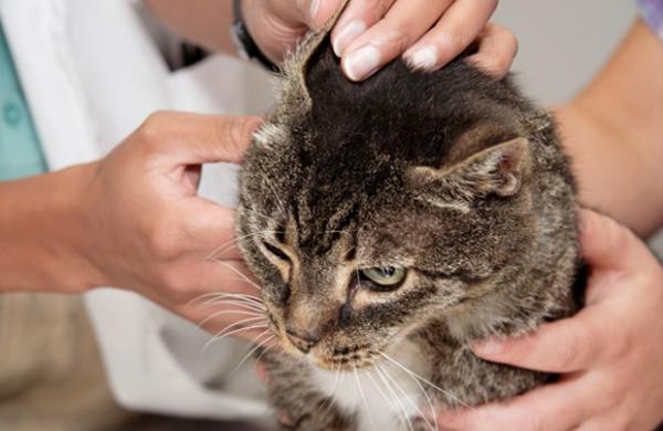 Ушной клещ у кошек: симптомы и лечение, советы врачей