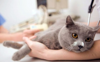 Диарея у кошки: причины и лечение в домашних условиях