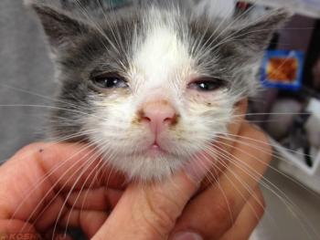 Микоплазмоз у кошек: опасность для человека, симптомы и лечение