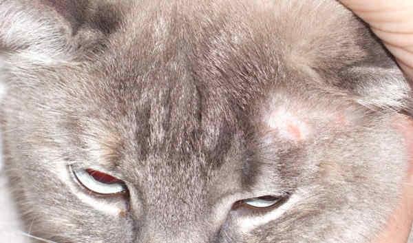 Лишай у кошек: симптомы и лечение, советы и профилактика, мази и шампуни