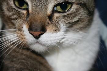 Почему у кошки текут слюни изо рта: сигналы к опасным болезням