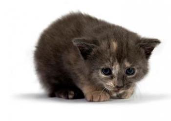 Страшная болезнь панлейкопения(чумка) у кошек: симптомы и лечение