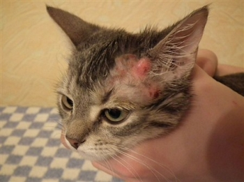 Кожные заболевания у кошек: симптомы и лечение болезни, причины, лекарства