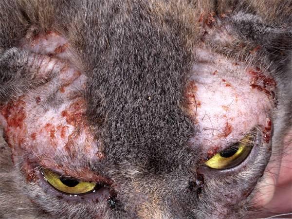 чесотка у кота