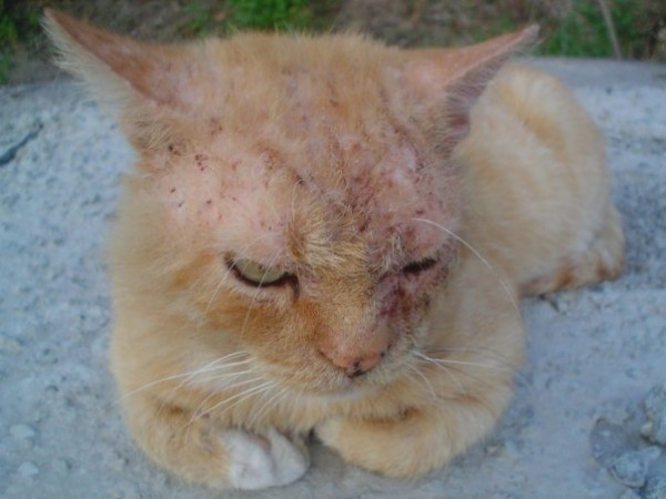 Нотоэдроз (зудневая чесотка) у кошек: лечим питомца, оберегаем себя