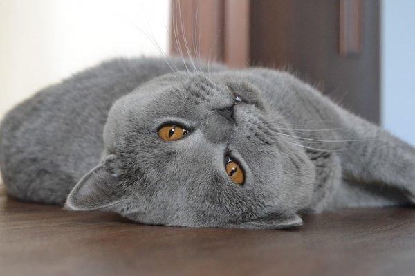 В каком возрасте кастрируют котов британцев