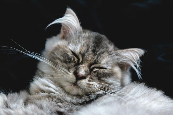 У кота болят уши