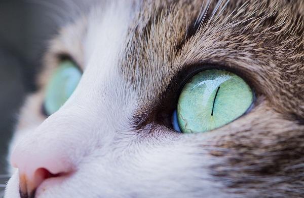 Глаз у кошки