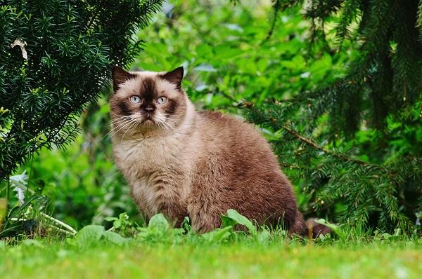Чем кормить кастрированного кота британца
