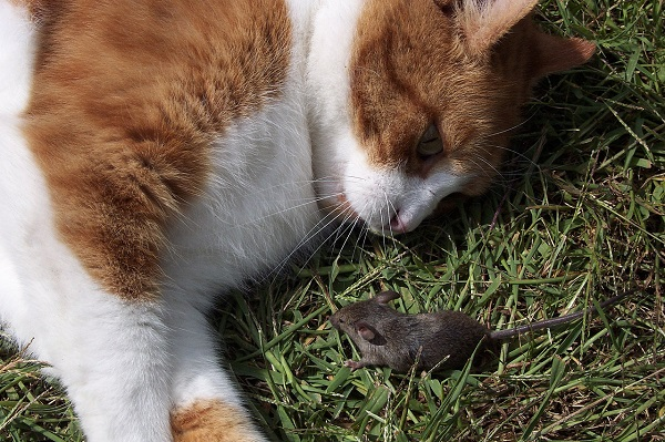 Ловят ли кастрированные коты мышей