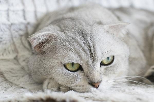 амилаза повышена в крови у кошек