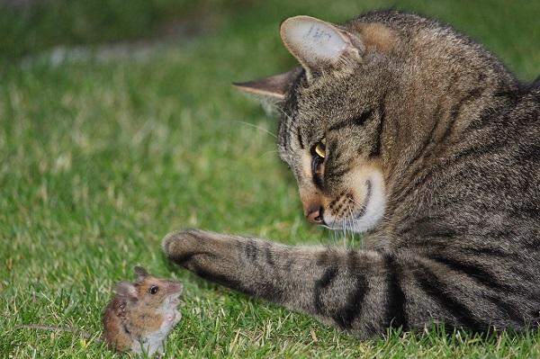 Кот съел отравленную мышь - что делать
