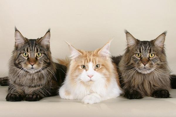 Как определить кастрированный кот или нет