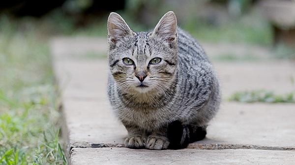 Кот хрипит