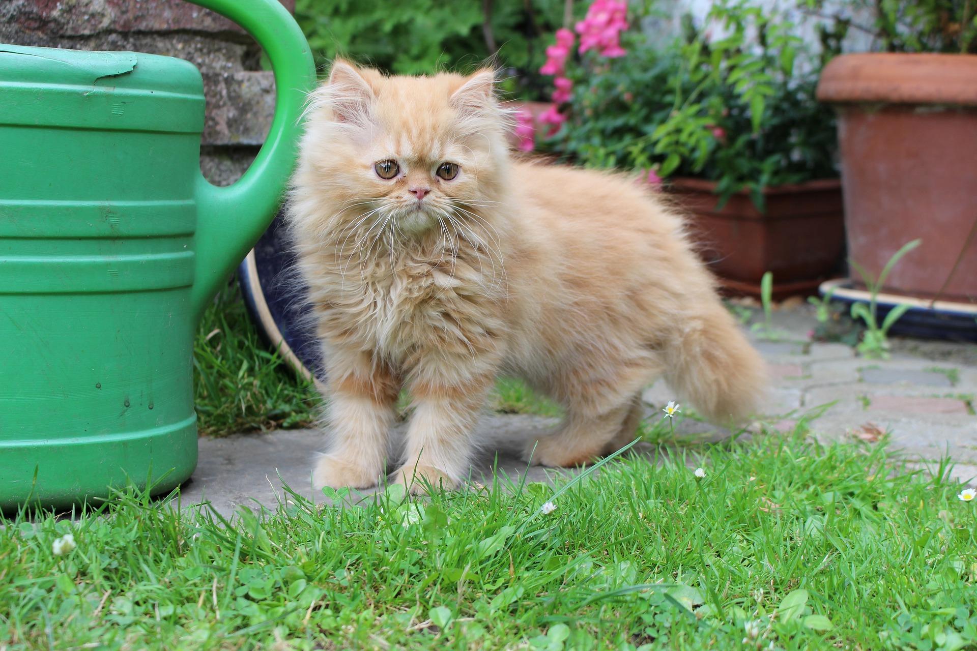 Сколько живут персидские кошки в домашних условиях