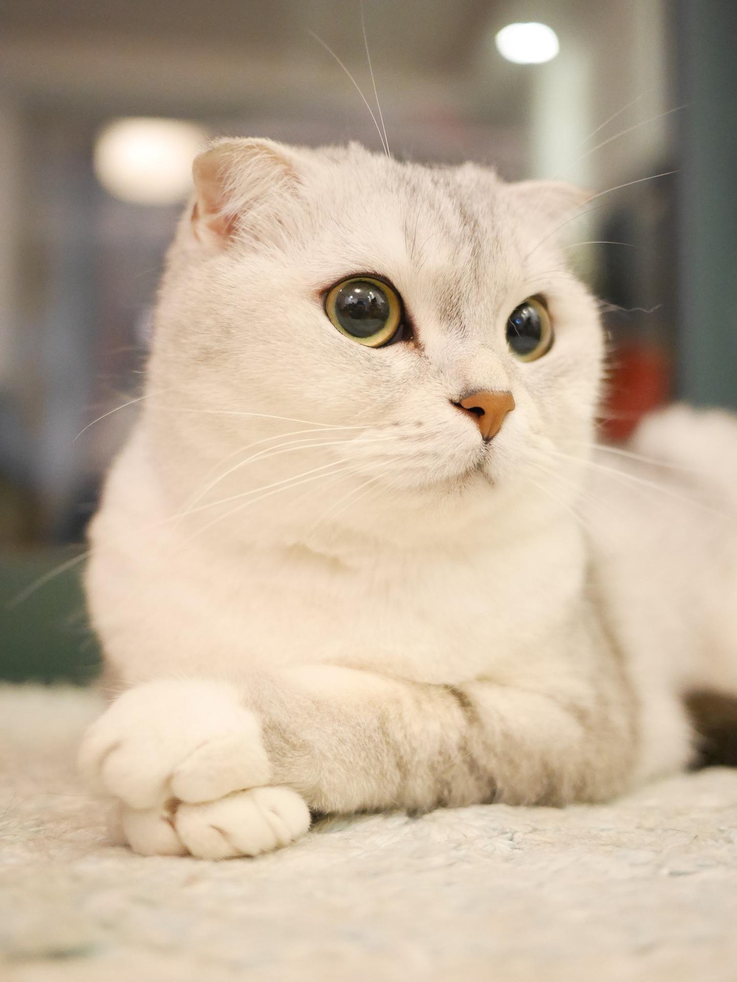 Беременность шотландской кошки