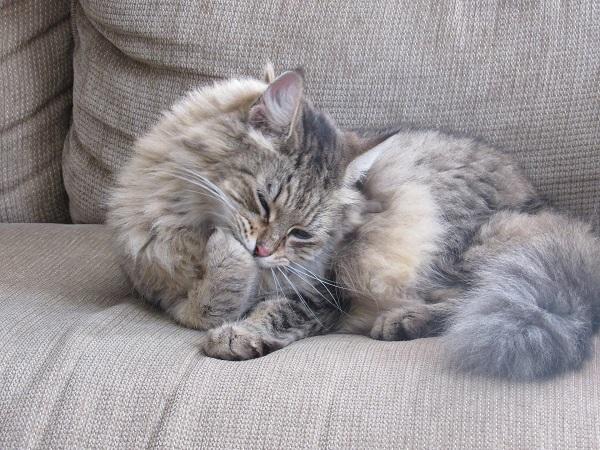 Кот чешется но блох нет
