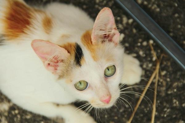 Микоплазмоз у кошек