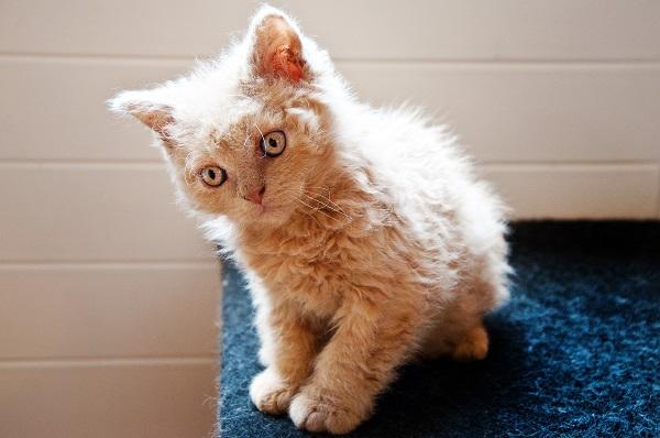 Если подстричь кошку через сколько она обрастет