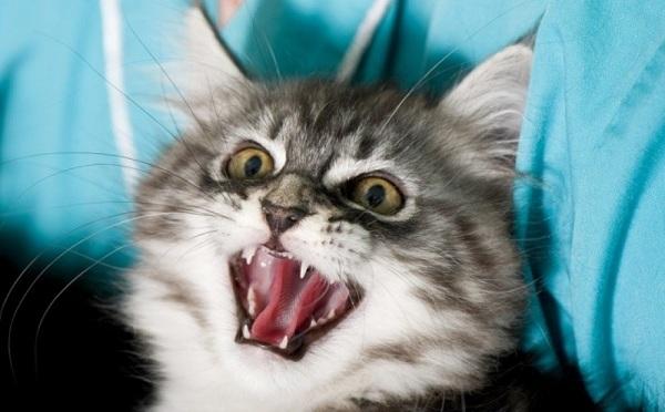 Бешенство у кошек симптомы