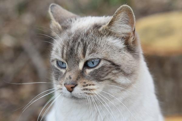 Перитонит у кошек