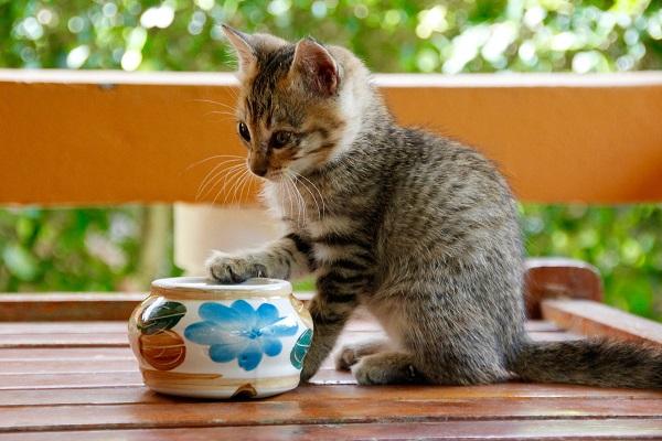 Марена красильная для котов