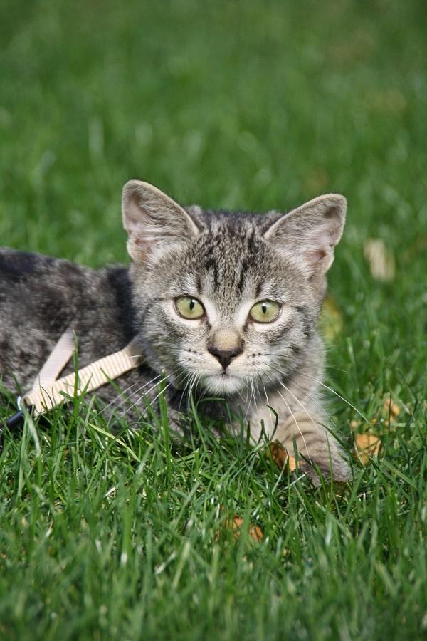 Как одеть шлейку на кошку пошаговое фото