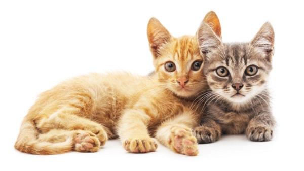 Кошка не подпускает кота во время вязки