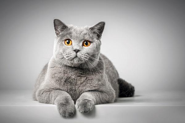 Мастит у кошки после стерилизации
